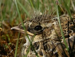 skylark (Alauda arvensis)